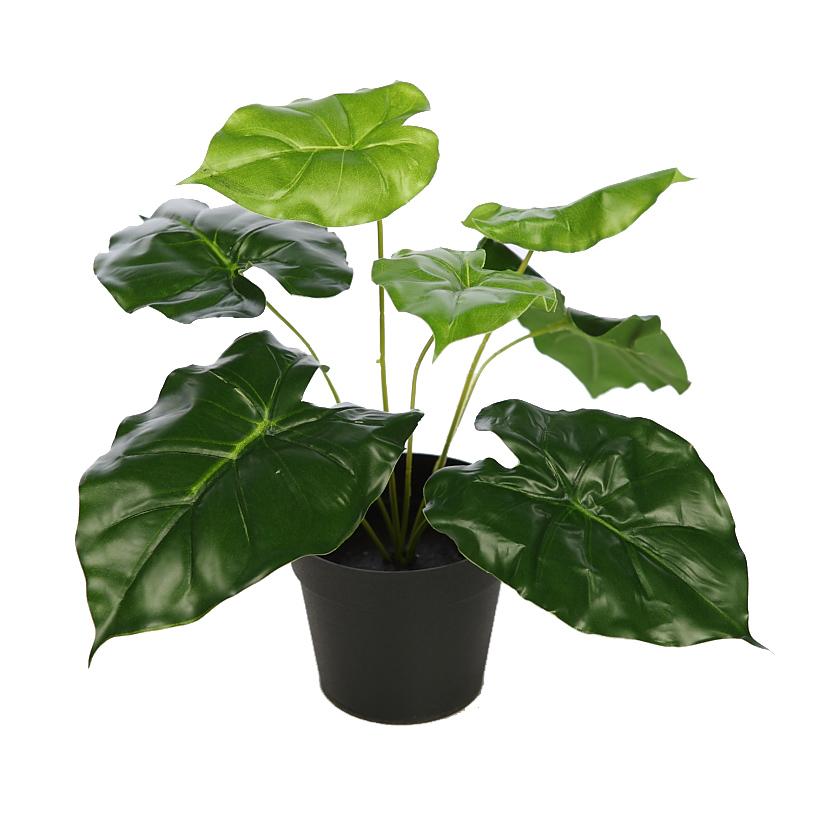 Planta alocasia oreja de elefante con maceta - Hierba luisa en maceta ...